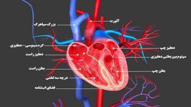 عملکرد آندوکاردیوم چگونه است؟ | متخصص قلب اصفهان